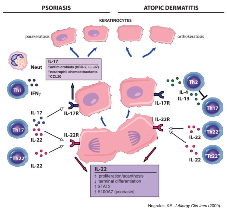Schematic of cellular pathways associated with psoriasis and atopic dermatitis